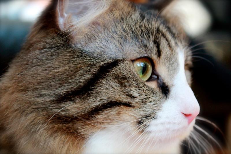 Pitkäkarvainen kissa