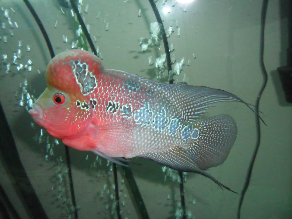 Flowerhorn The Hybrid Cichlids: Red Dragon Jesse