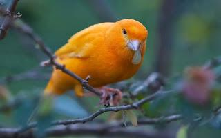 video burung kenari, suara burung kenari, kicau burung kenari