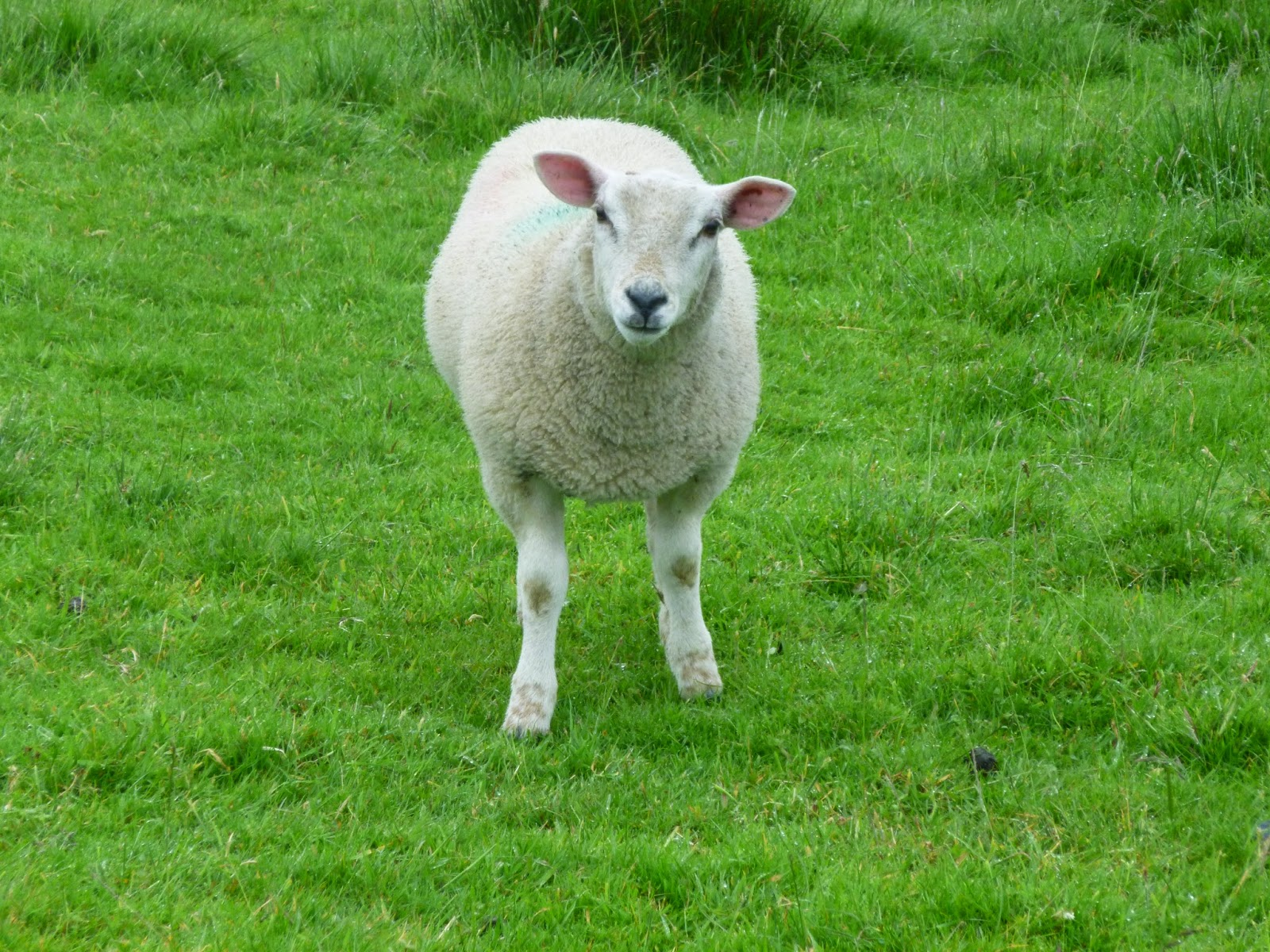 A white sheep looks quizzically at the camera from where it stands on the green lawn.