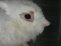 Kelinci Terkena Scabies