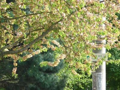 Strasbourg, arbre printemps, fleuri, beau temps, photographie