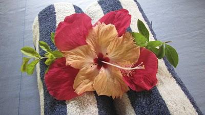 fiji hibiscus