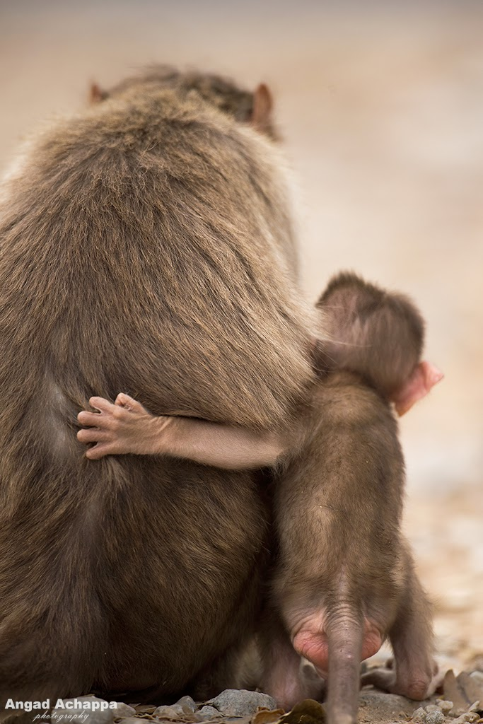 bonnet macaque, monkey, monkeys, baby animals, baby monkey,  Bandipur, Bandipur National Park, Karnataka, India, Wildlife Photography, Indian Wildlife, top indian wildlife photographers, top indian photographers, top indian bird photographer