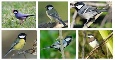 Cara Beternak Burung Gelatik Dengan Mudah