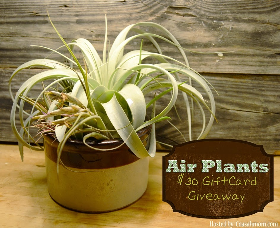 Air Plant Giveaway