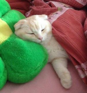 كيف لرعاية القطط  الحوامل