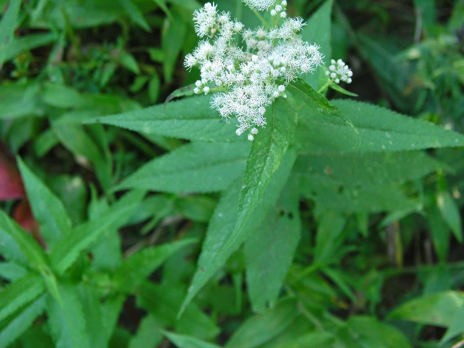 Benefits Of Boneset (Eupatorium Perfoliatum) For Health