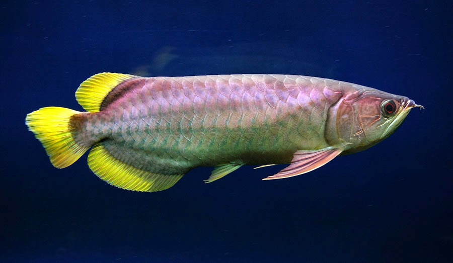 ikan arwana super golden red