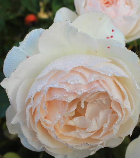 English Rose, dew, rain, wet, Sarah Myers, S. Myers, pearl, arte, embroidery, art, Perdita, flower, bloom, pink, translucent, fall, autumn