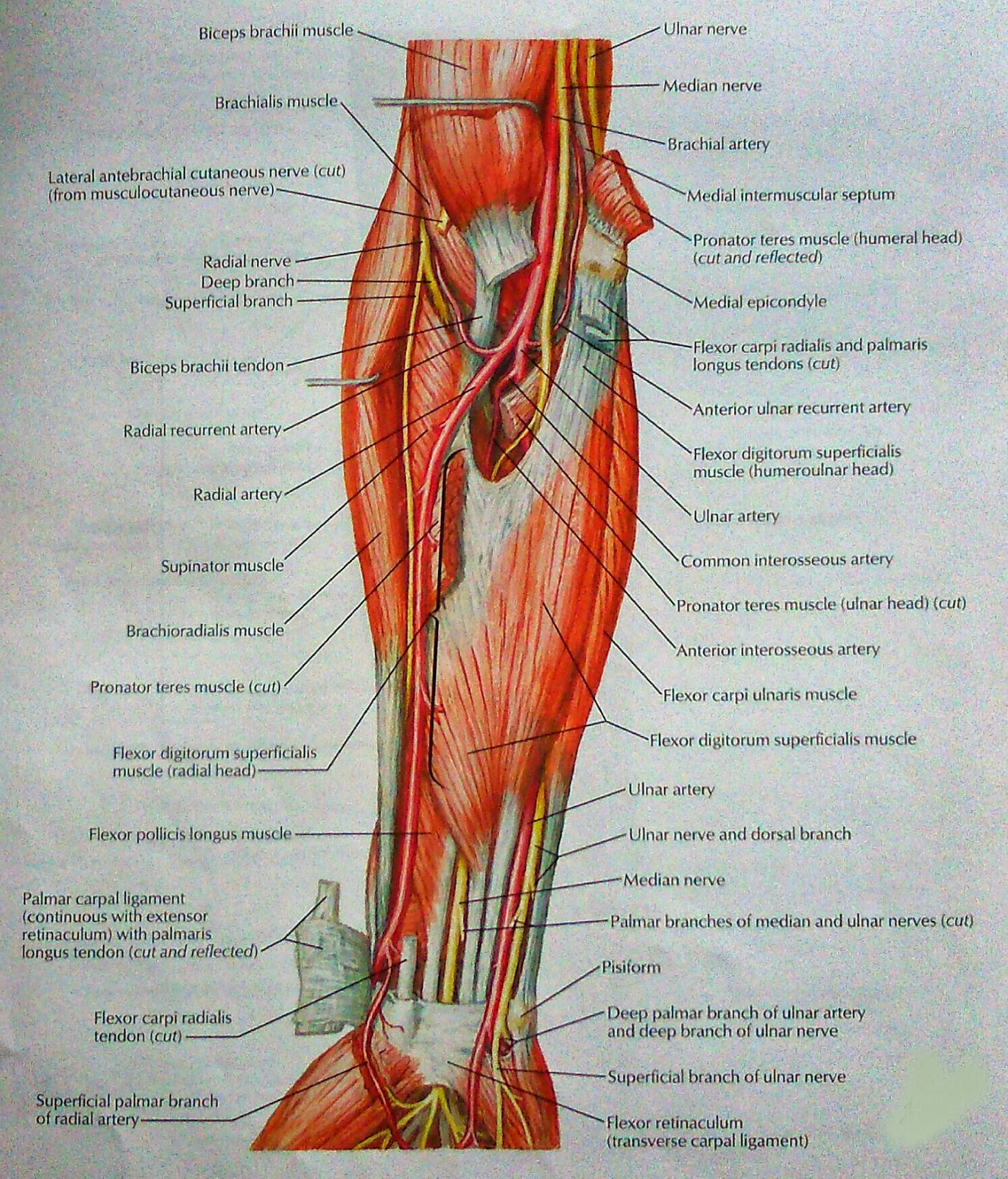 Muscles of Forearm(Intermediate Layer): Anterior view | VISUAL ANATOMY