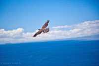 Galapagos Hawk Soaring the Pristine Blue Sky