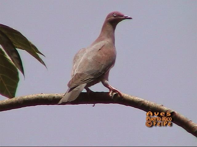 Plain pigeon