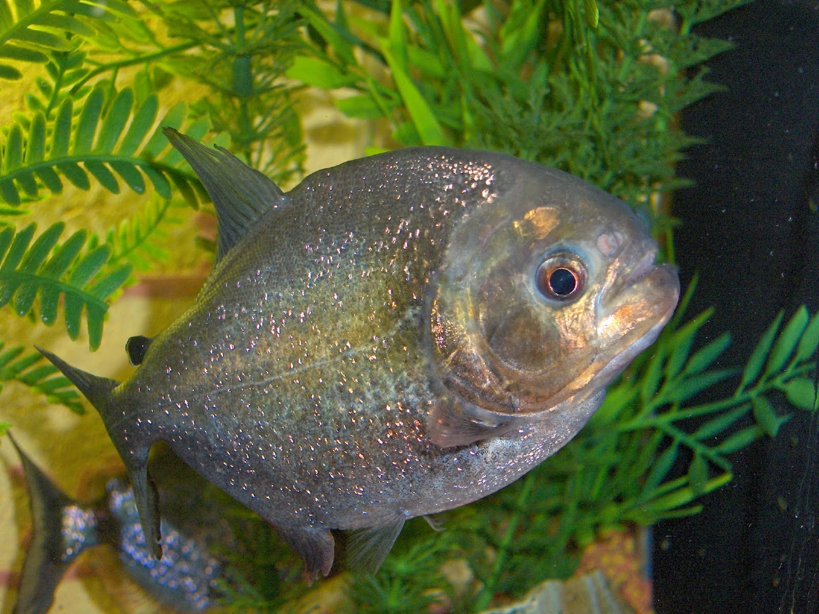 Piranha fish related keywords piranha fish long tail for Pictures of piranha fish