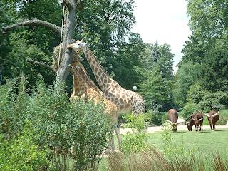 Watusis et girafes ensembles