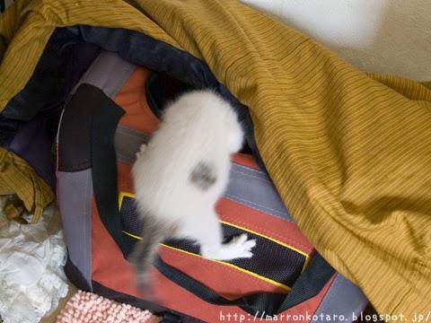 自分でハウスに帰る子猫