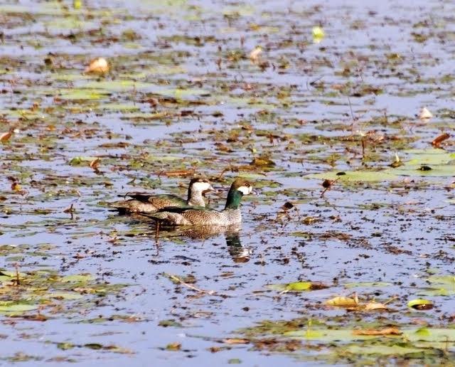Green Pygmy Goose 1134