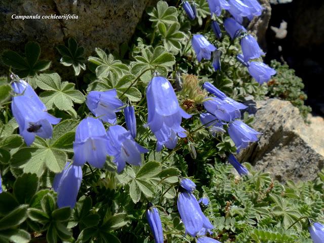 Plantas Pirenaicas