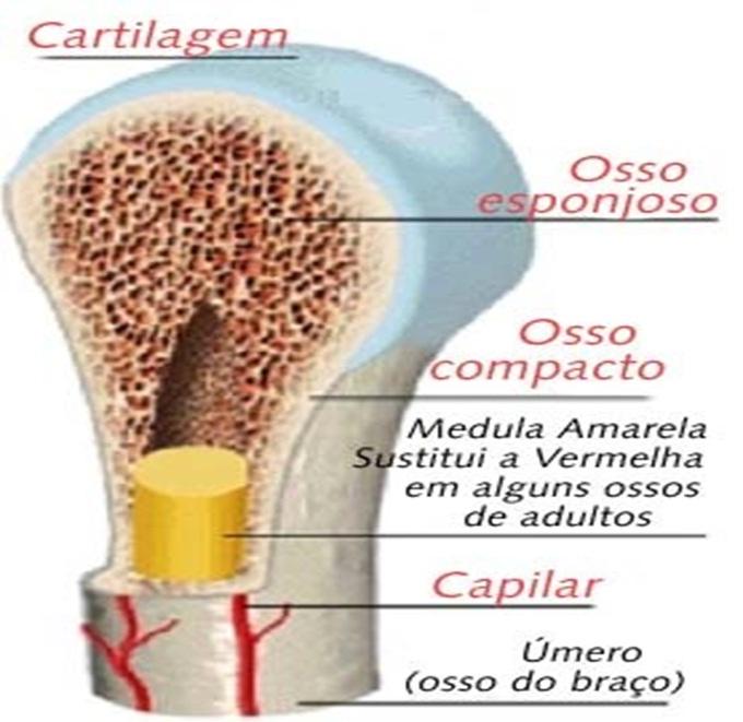 Aprender sa de dietas que provocam anemia for Esterno e um osso irregular