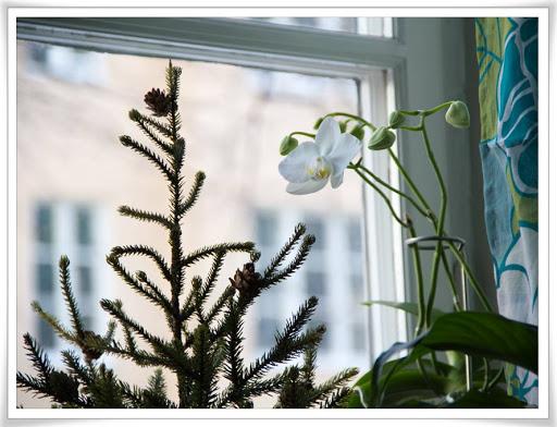 Minigran och orkidé samsas i fönstret