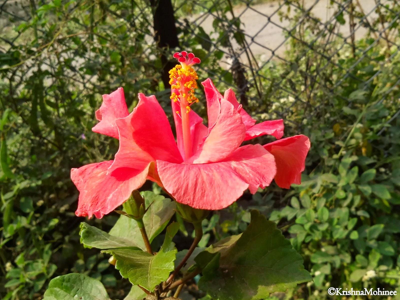 Image: Beautiful Jaswand Flower