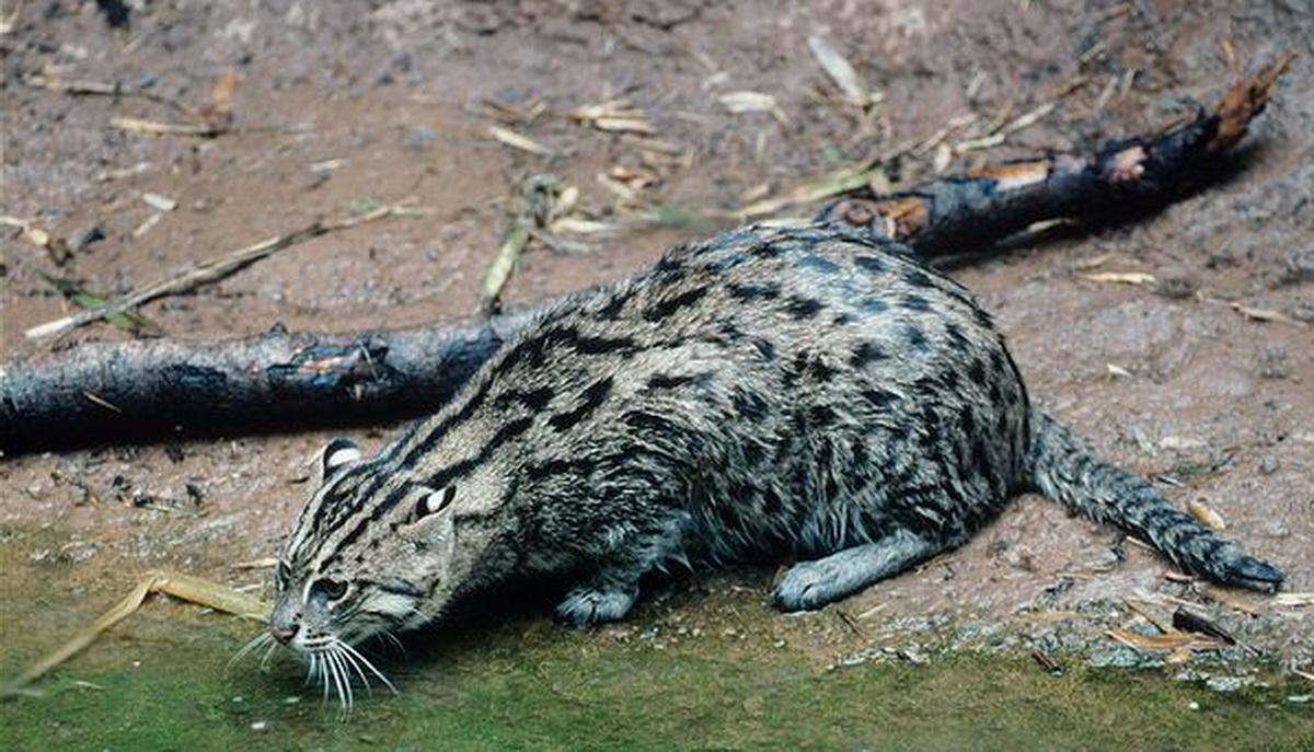 Fishing cat animal wildlife for The fishing cat