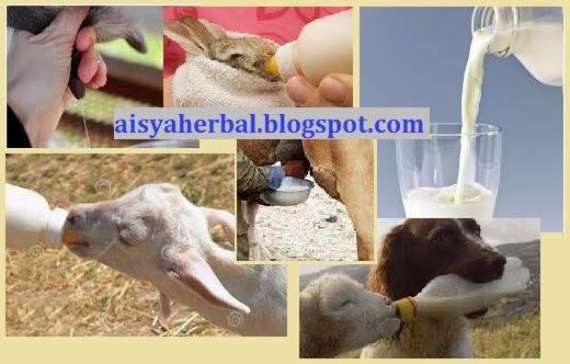 manfaat susu sapi