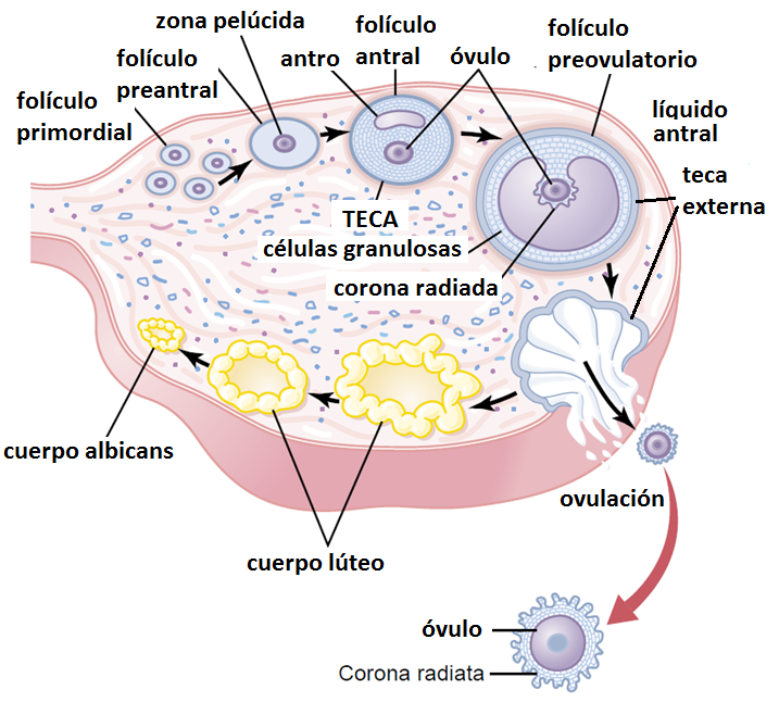 folículos en ovario. Reserva ovárica