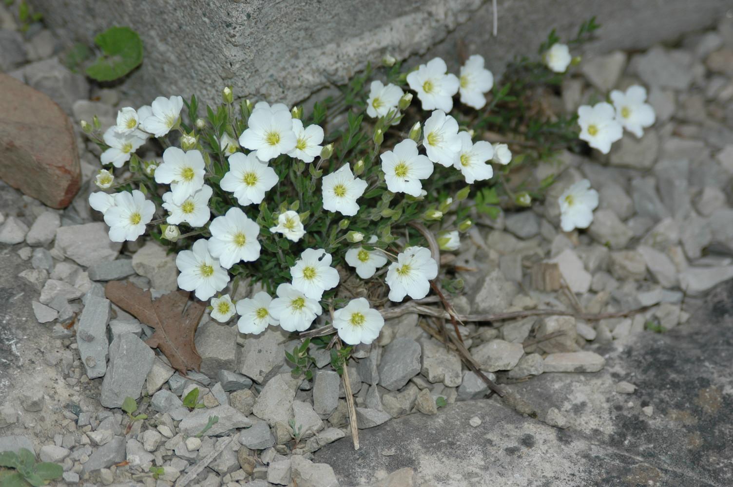 Mountain sandwort