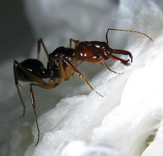 Odontomachus rixosus gyne or queen