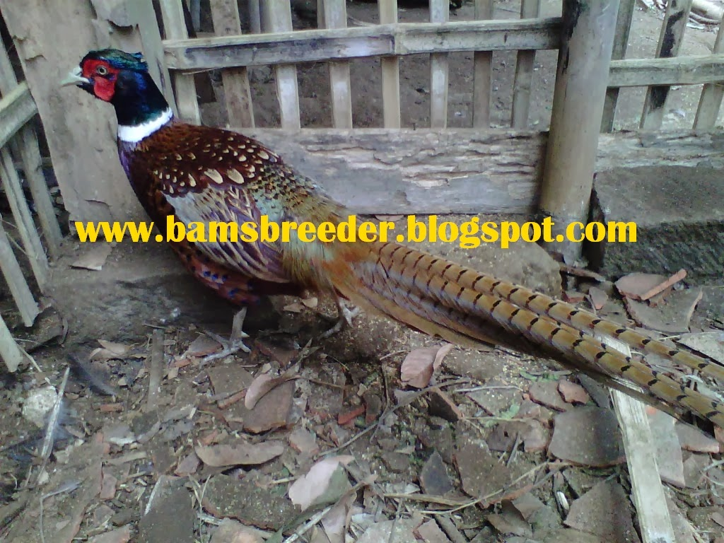 jual ayam ring neck pheasant
