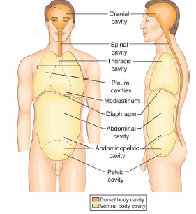F10 Multicell04 moreover Chapter 1 Introduction To Anatomy And Physiology as well B76b2090 243e 429a 8144 2e45bda6ab75 8 as well Heart Valve Anatomy Diagram Heart Wikipedia as well Major Blood Vessels Descending Aorta Thoracic And Abdominal Aorta. on diagram of organs the major body cavities