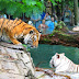 PHOTO: Tigers and water