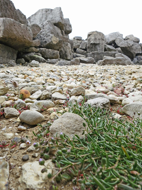 Greater Sea-spurrey - Spergularia media - with rocks ahead