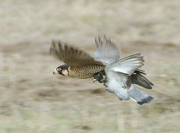 Falcon attacking and Hunting Pigeons ~ Wild Life