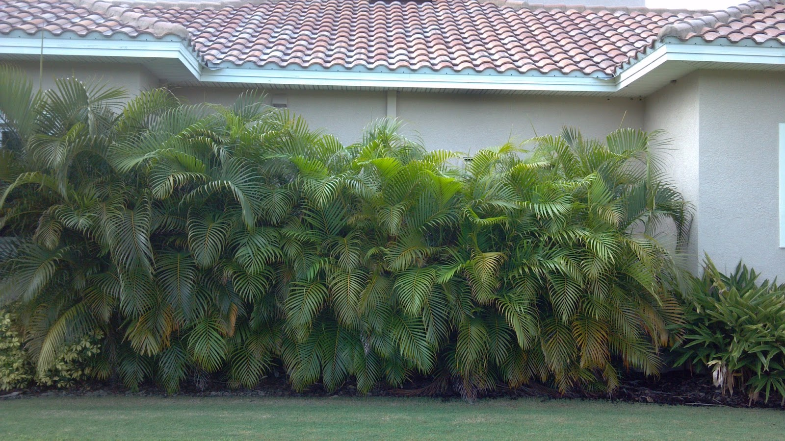A quality plant wholesale palms and plants for privacy for Privacy greenery