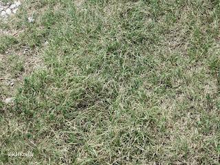 buffalo grass, Buchloë dactyloides