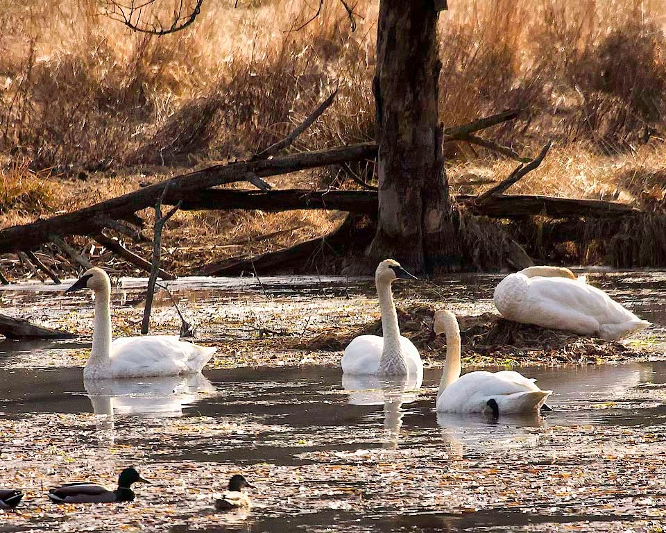 Uncollared Trumpeter Swans