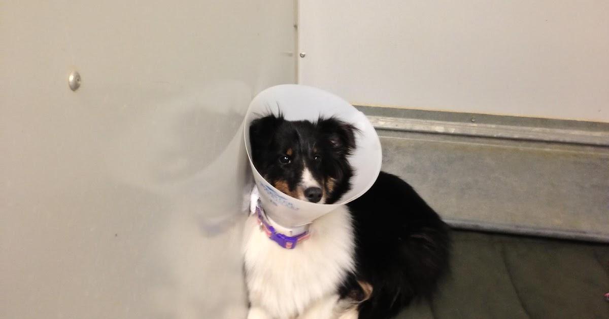 Missing Small Dog Alert: MN, Rochester ~ Found Sheltie
