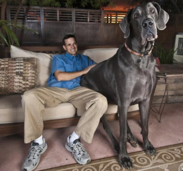 Largest Great Dane http://wondersbook.blogspot.com/2012/06/worlds-biggest-dog-george-230-pound.html