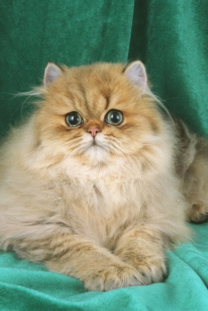 Health Problems in Persian Cats
