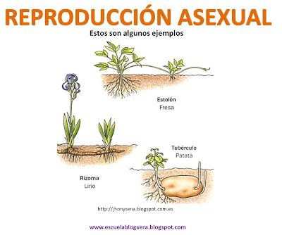 Reproduccion asexual en plantas rizomas plantas