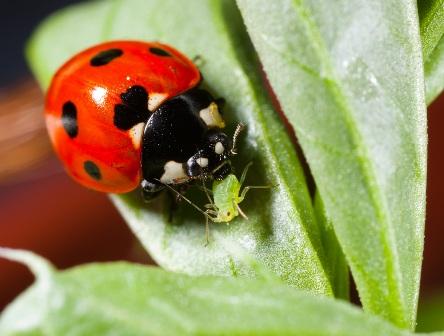 Lady bug repellant