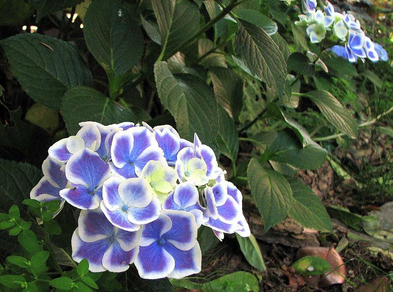 L 39 orto dei colori ortensie blu e ninfee bianche - Ortensie colori ...