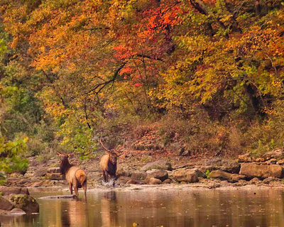 Satellite Bull and Cow Elk in Buffalo National River