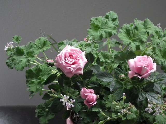 mini-roses and pink nutmeg scented pelargonium/ geranium