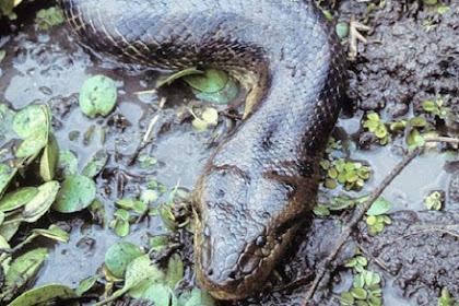 Belah Perut Anaconda, Para Pria Ini Temukan 'Kejutan'