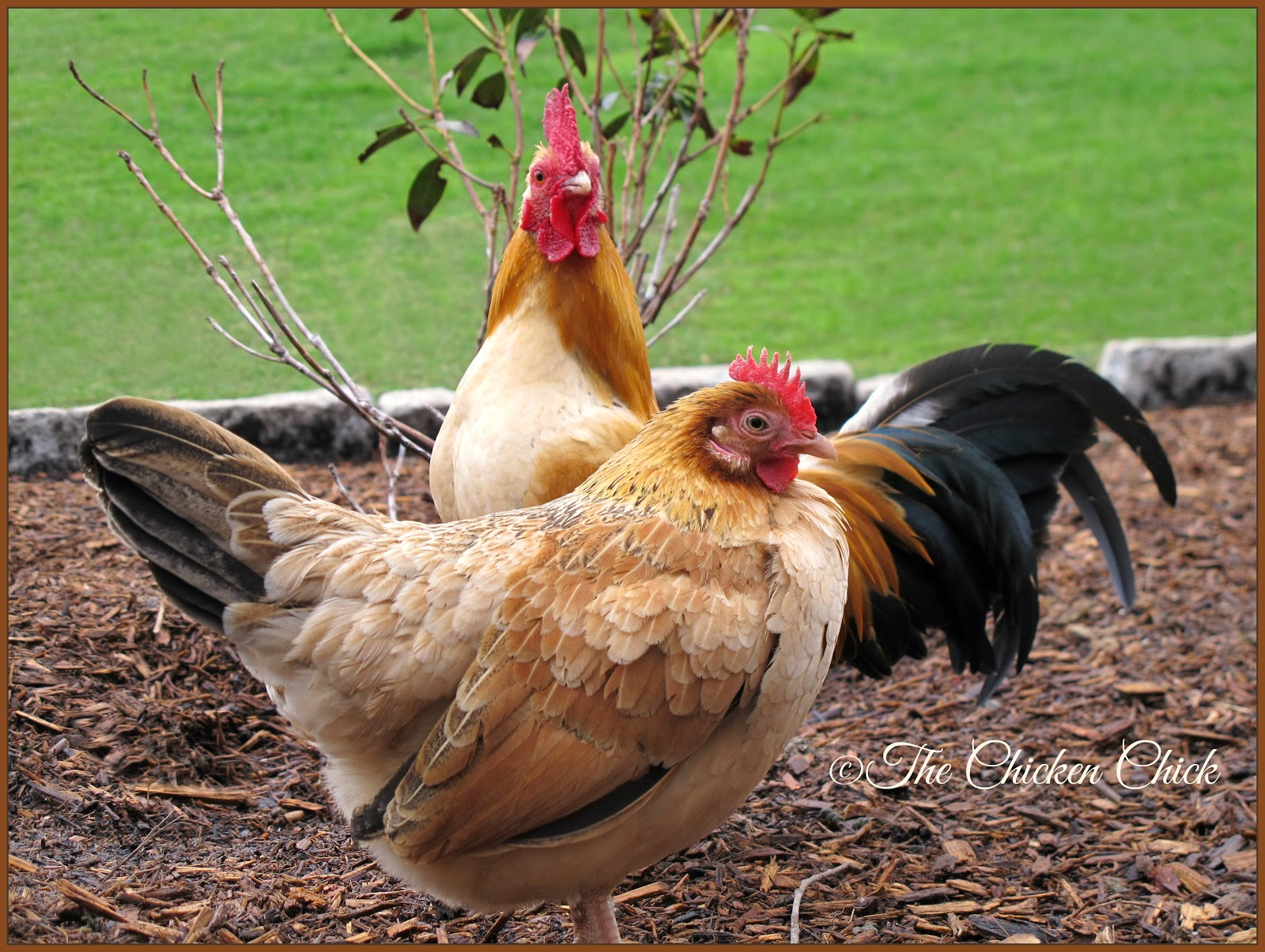 Pet chickens can be rehabilitated when they are injured, can live happy, high-quality lives with certain genetic imperfections and can be wonderful companion animals with the dedication and love of their caretakers.