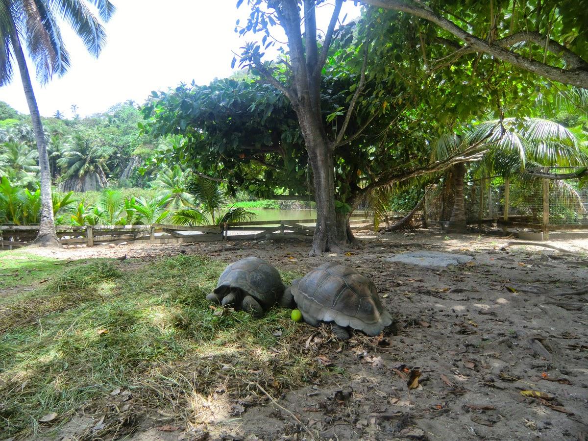 Сейшельские-гигантские-черепахи