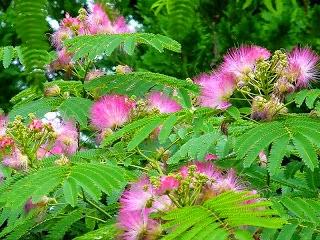 Mimosa pudica (putri malu)